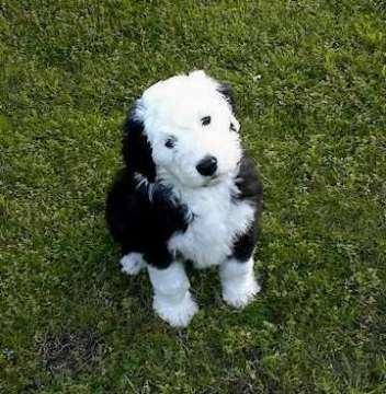 old-english-sheepdog-0001